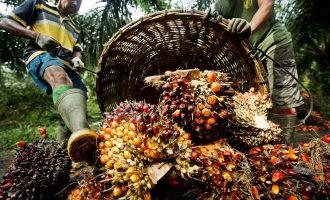 Vazhdon alarmi për rrezikun nga vaji i palmave që shitet si qumësht në Kosovë