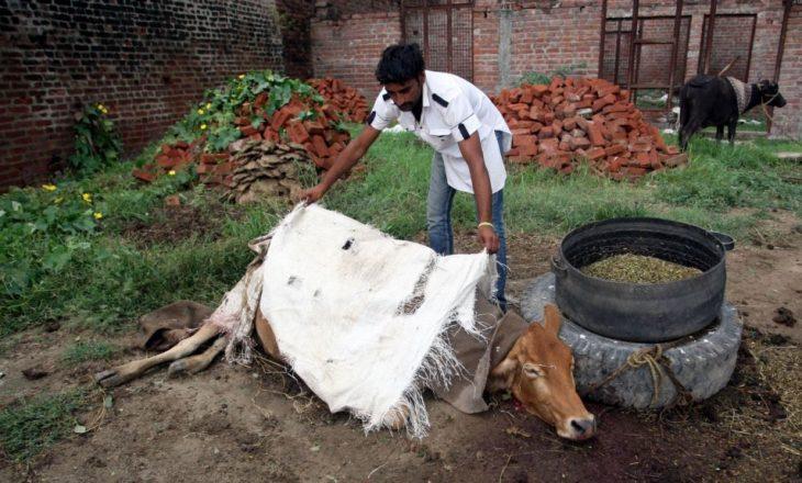 Në Indi vrasja e lopës do të dënohet me burg të përjetshëm