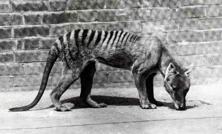 Tigri i Tasmanisë nuk është zhdukur