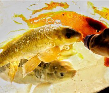 Akuariumi në Turqi ku peshqit ushqehen me shishe për bebe