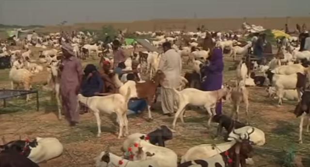 """""""Kurban Bajrami"""" në Pakistan, 10 milionë kafshë bëhen kurban"""