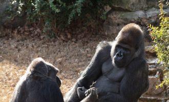 """Ekzistojnë """"misitni"""" edhe për gorilla"""