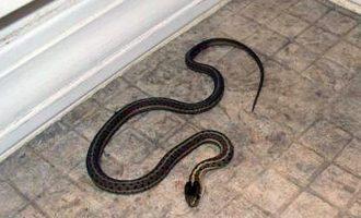 Përse mbanin ilirët gjarpër shtëpie?