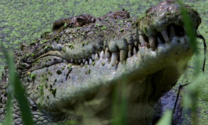 Krokodili e vret klerikun në mes të kryqëzimit masiv
