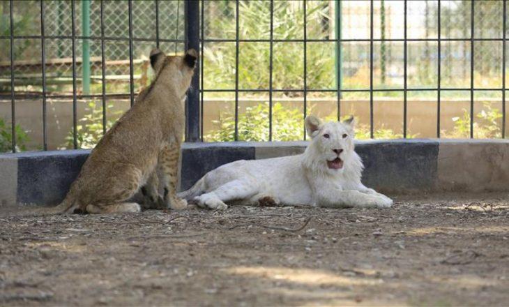 Luanë dhe tigra ikin nga një kopsht zoologjik në Gjermani