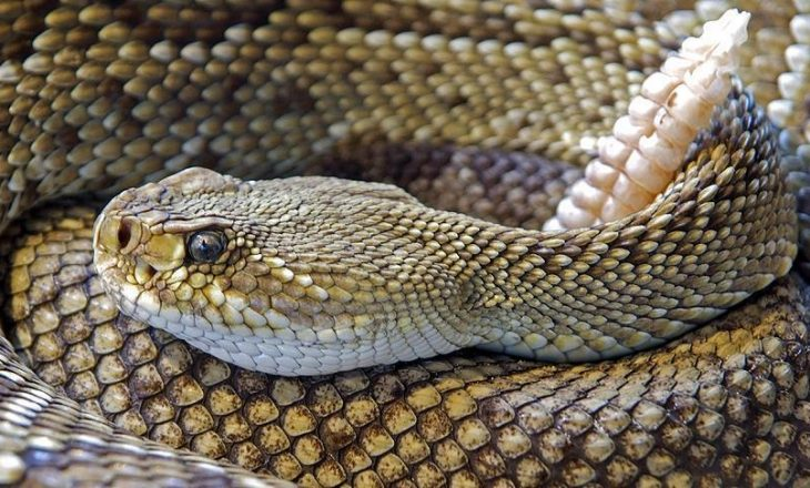 Koka e këputur e gjarprit kafshon një person