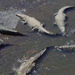 Hynë në fermë dhe i masakruar 300 krokodilë – për gjakmarrje!