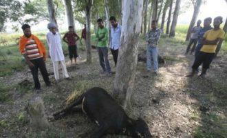 Mbytet një person, pasi keqtrajtoi lopën