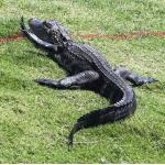 Aligatori vret gruan derisa ajo shëtiste qenin në Kaliforninë Jugore