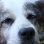 Qeni në Vushtrri tash 6 ditë pa hëngër pret pronarin që u nda nga jeta