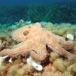 Si reagojnë oktapodët kur marrin ekstazi