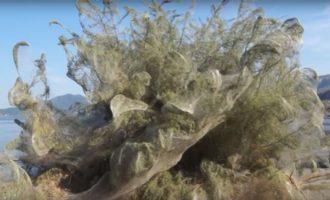 Fenomen në Greqi: Një rrjet i madh i merimangës e ka mbuluar bregdetin