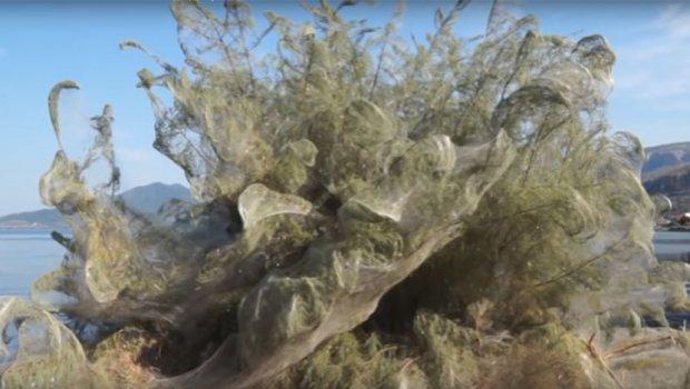 Fenomen në Greqi  Një rrjet i madh i merimangës e ka mbuluar bregdetin